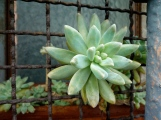 succulent in Venice